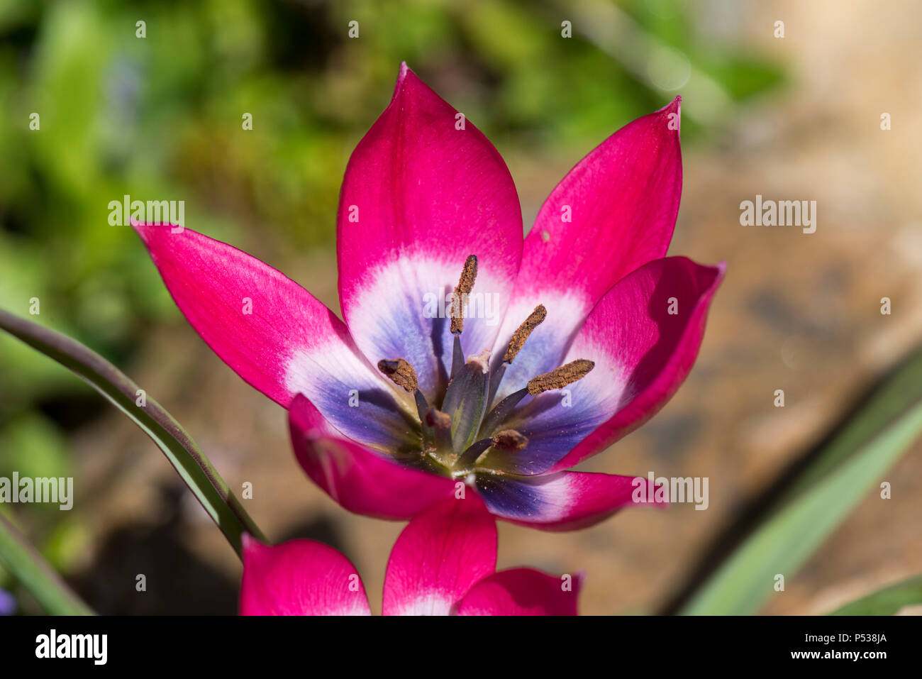 Purple And Pink Flowers Of Species Tulip Tulipa Pulchella Persian