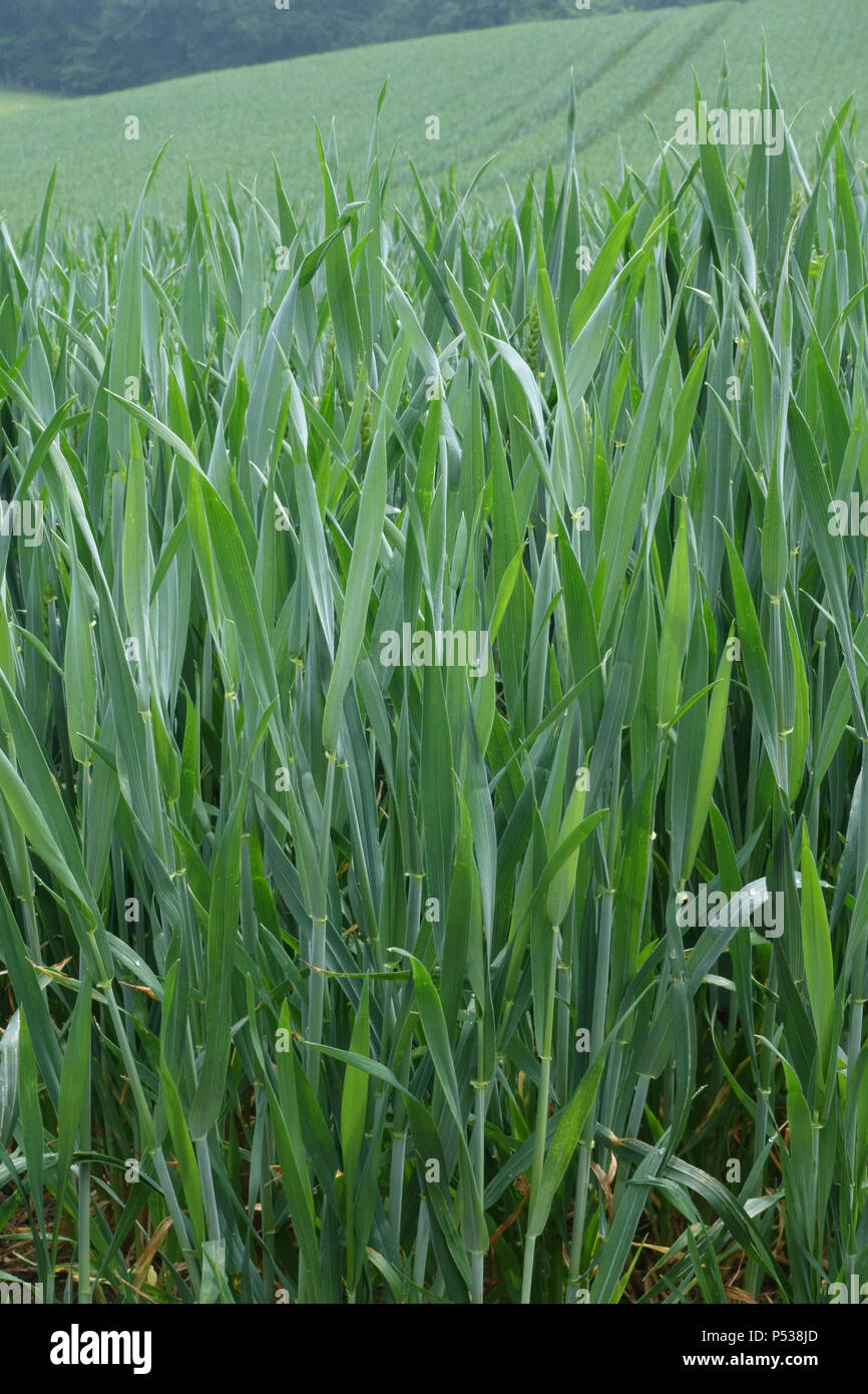 Winter wheat crop with flag leaf and ear in boot, zadoks stage 45, Berkshire, May - Stock Image
