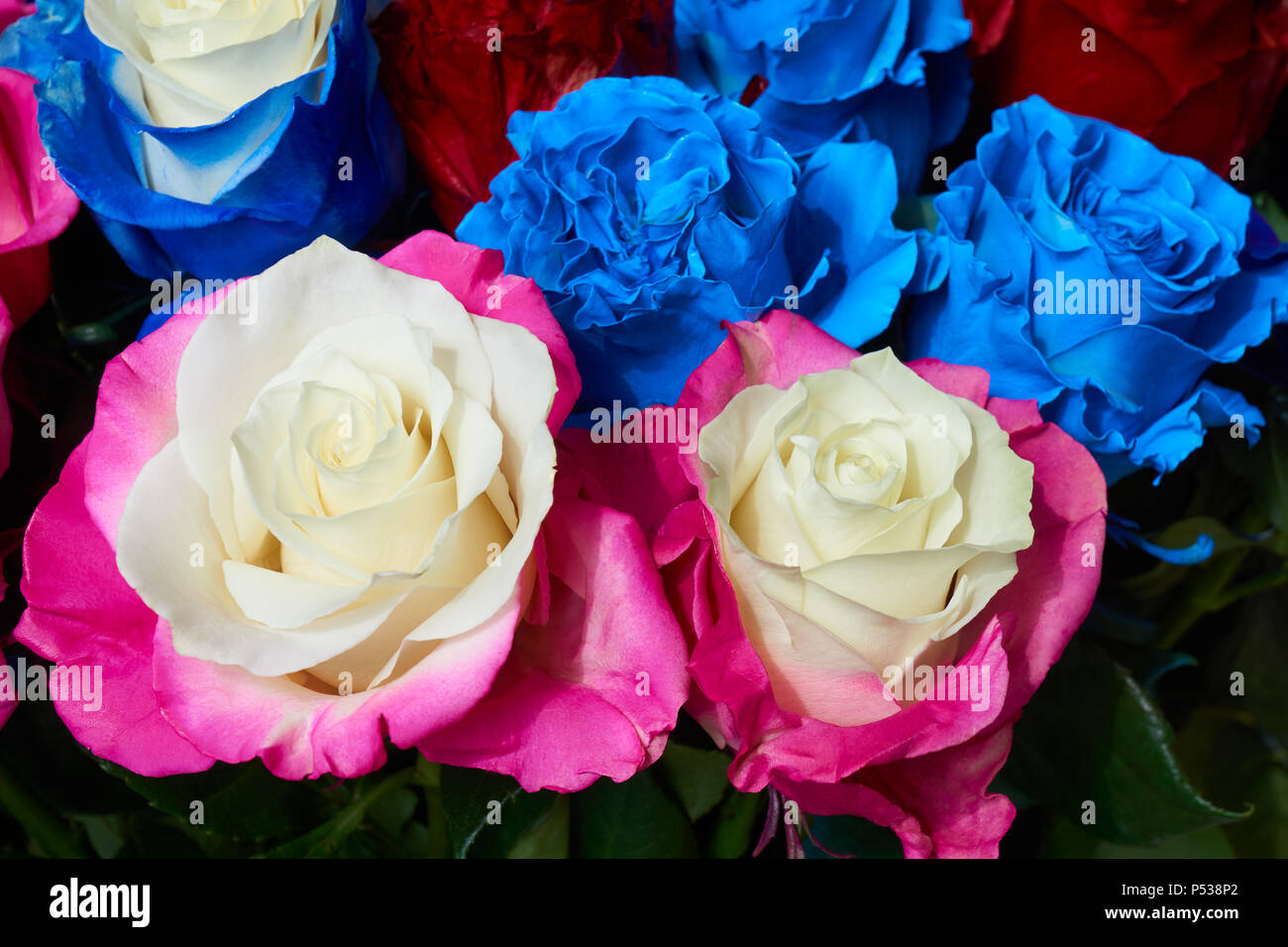 Bunch of multicolored roses as floral background. White, pink and blue colors. - Stock Image
