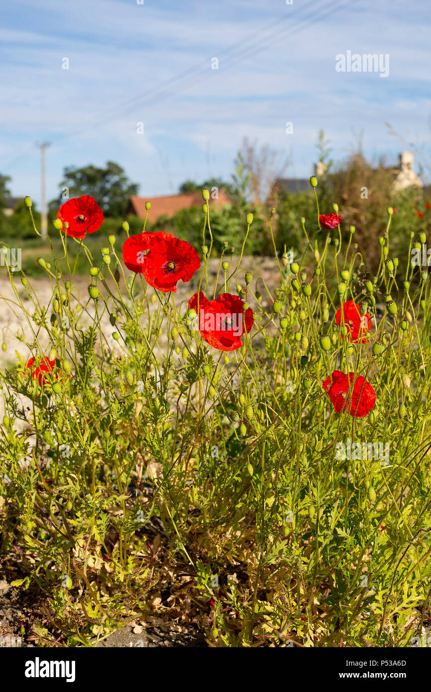 A stunning display of poppies in a field adjacent to a building site in West Hanney, Wantage, Oxfordshire, UK - Stock Image