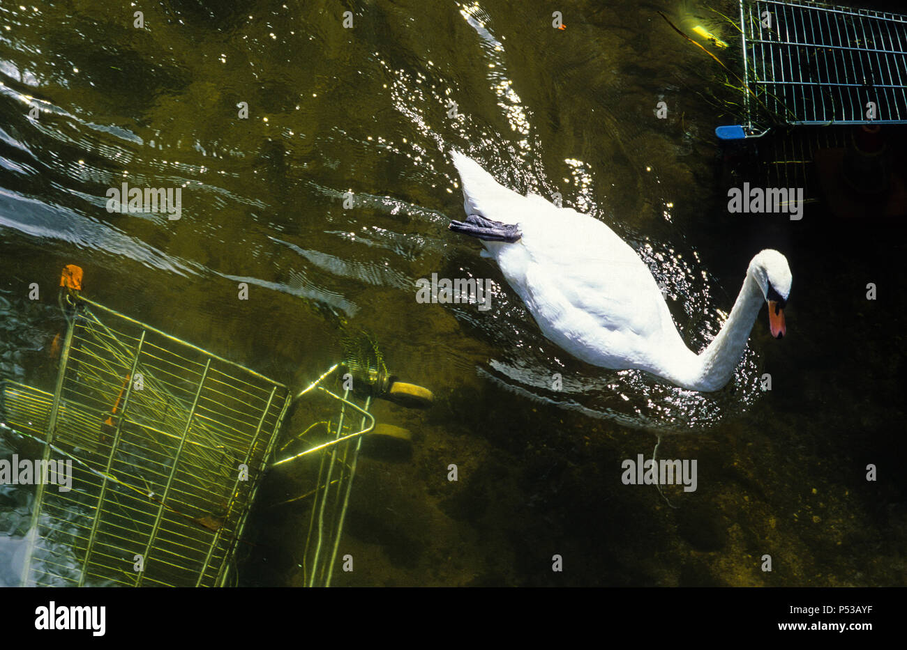 Swan and River Pollution, River Avon, Salisbury, Wiltshire, England, UK, GB. - Stock Image
