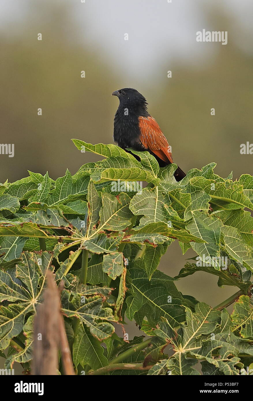 Lesser Coucal (Centropus bengalensis lignator) adult perched on tree top  Taiwan                      April - Stock Image