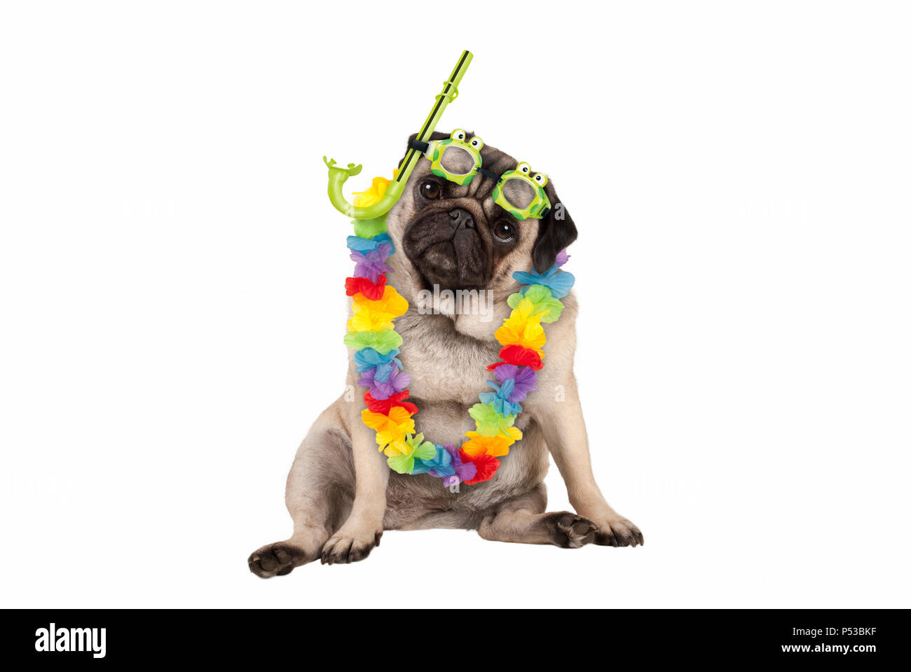 cute smart pug puppy dog sitting down wearing hawaiian flower garland and green goggles and snorkel, isolated on white background Stock Photo