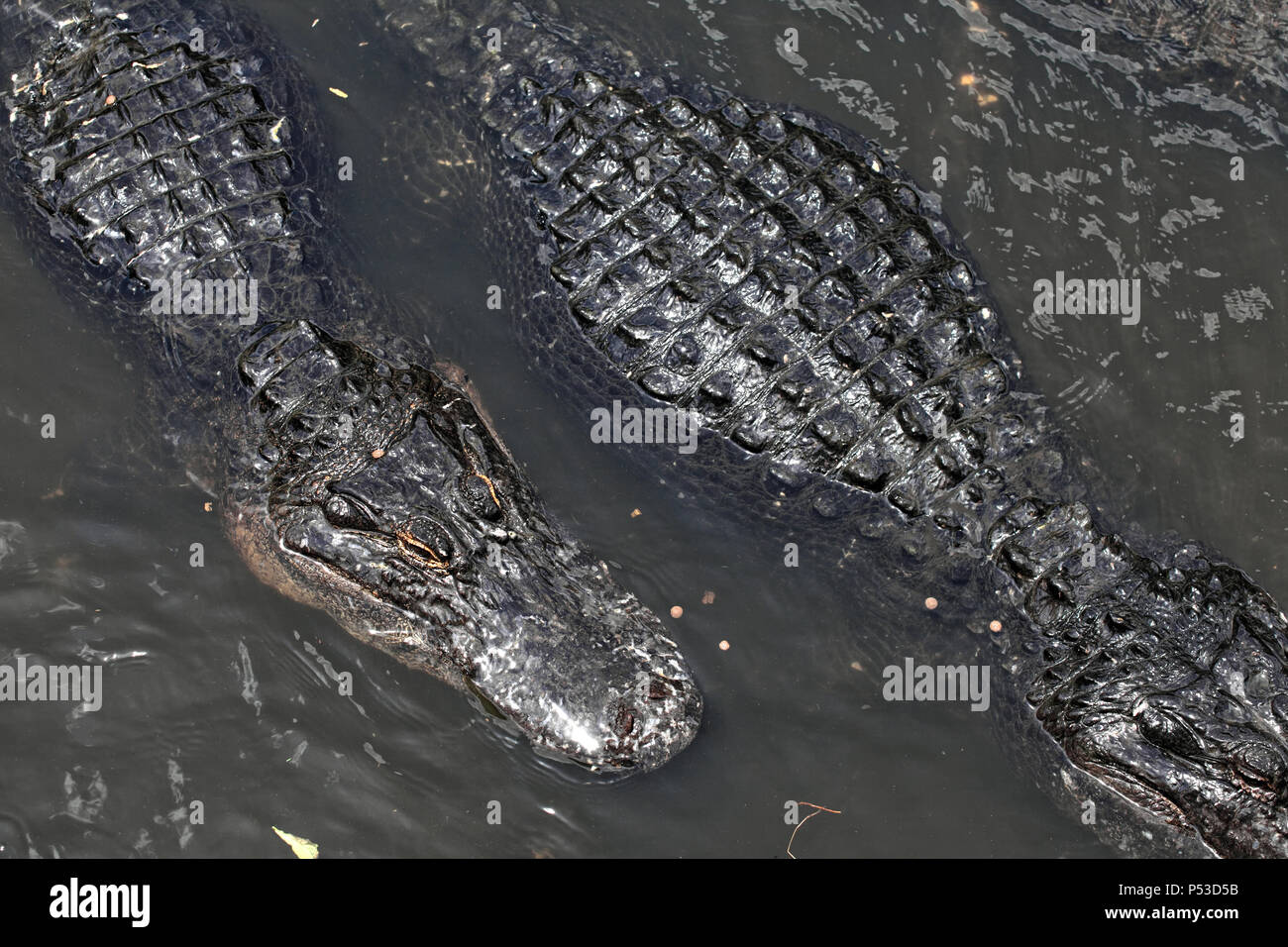 Close up shot of alligators floating on water - Stock Image