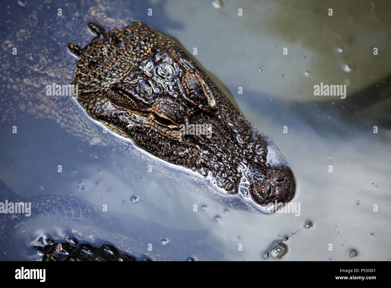 Close up shot of alligator floating on water - Stock Image