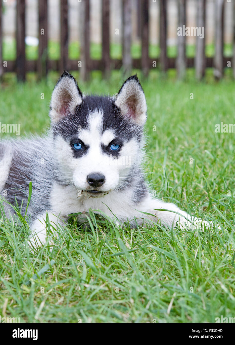 Cute Siberian Husky Puppy On Grass Stock Photo 209674233 Alamy