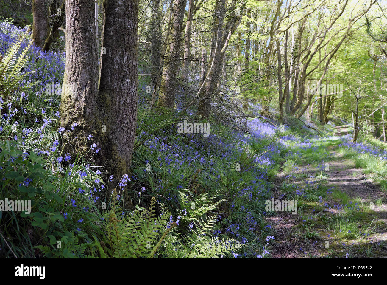 View of bluebells growing in a woodland on a slope by a rural track in the woods in spring Wales UK  KATHY DEWITT Stock Photo