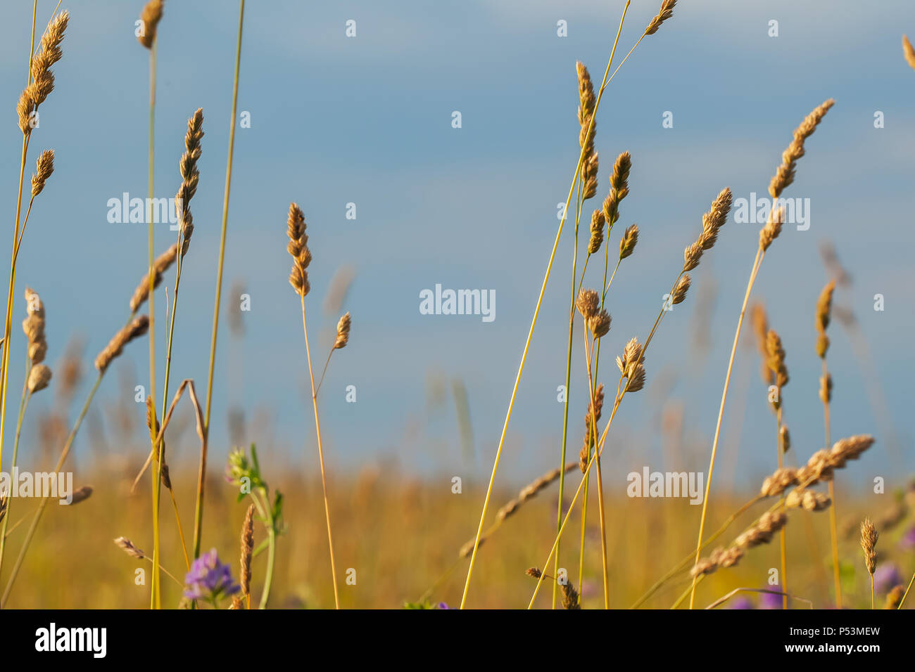 Yellow grass field, several ears of corn - Stock Image