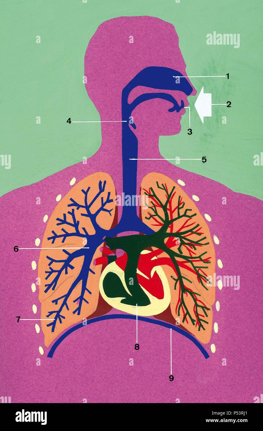 Respiratory System Schematic Drawing1 Nostrils 2 Air Inlet 3