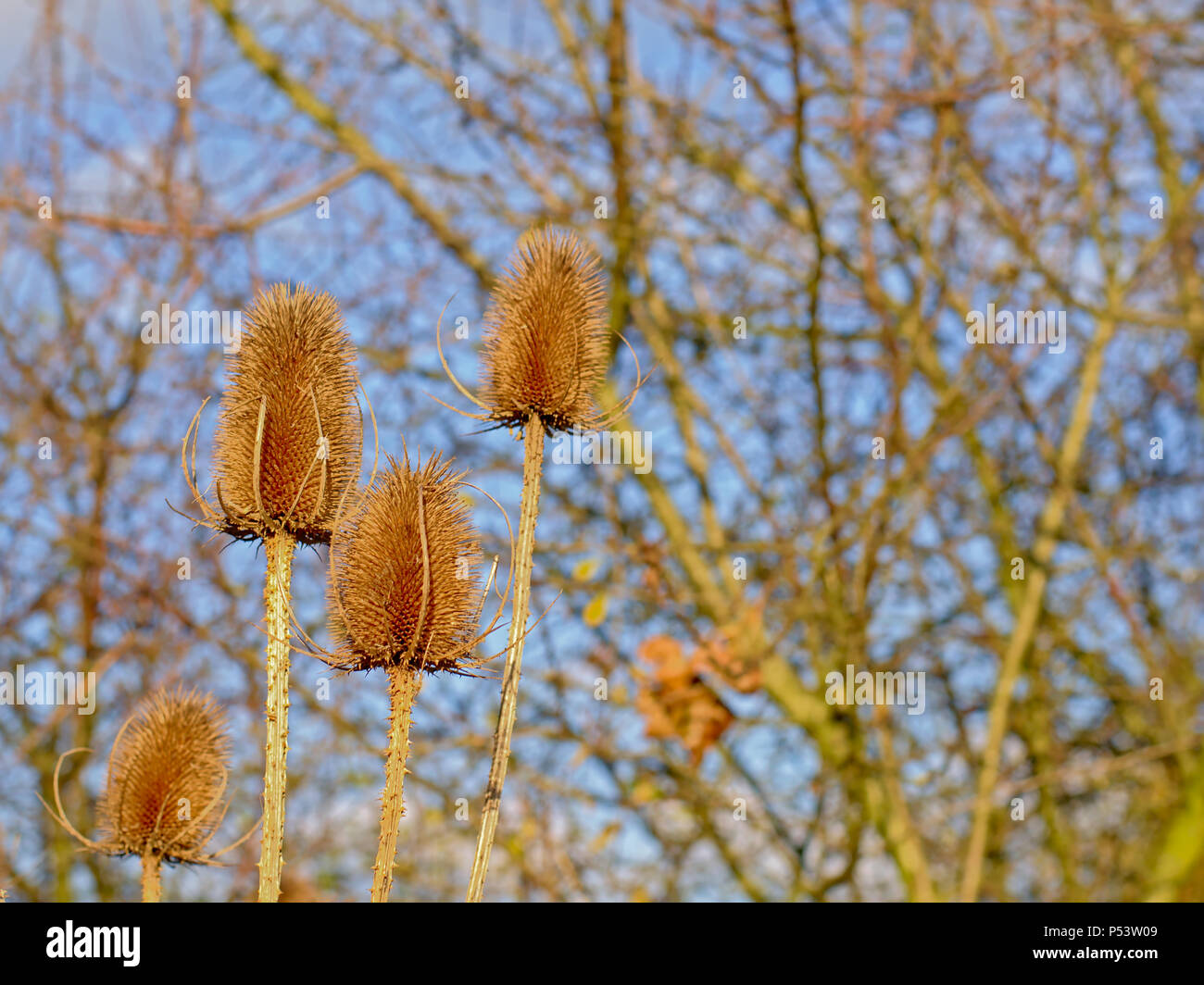 Brown dried winter teasel head, selective focus with blurred bare trees and blue sky in the background - Stock Image