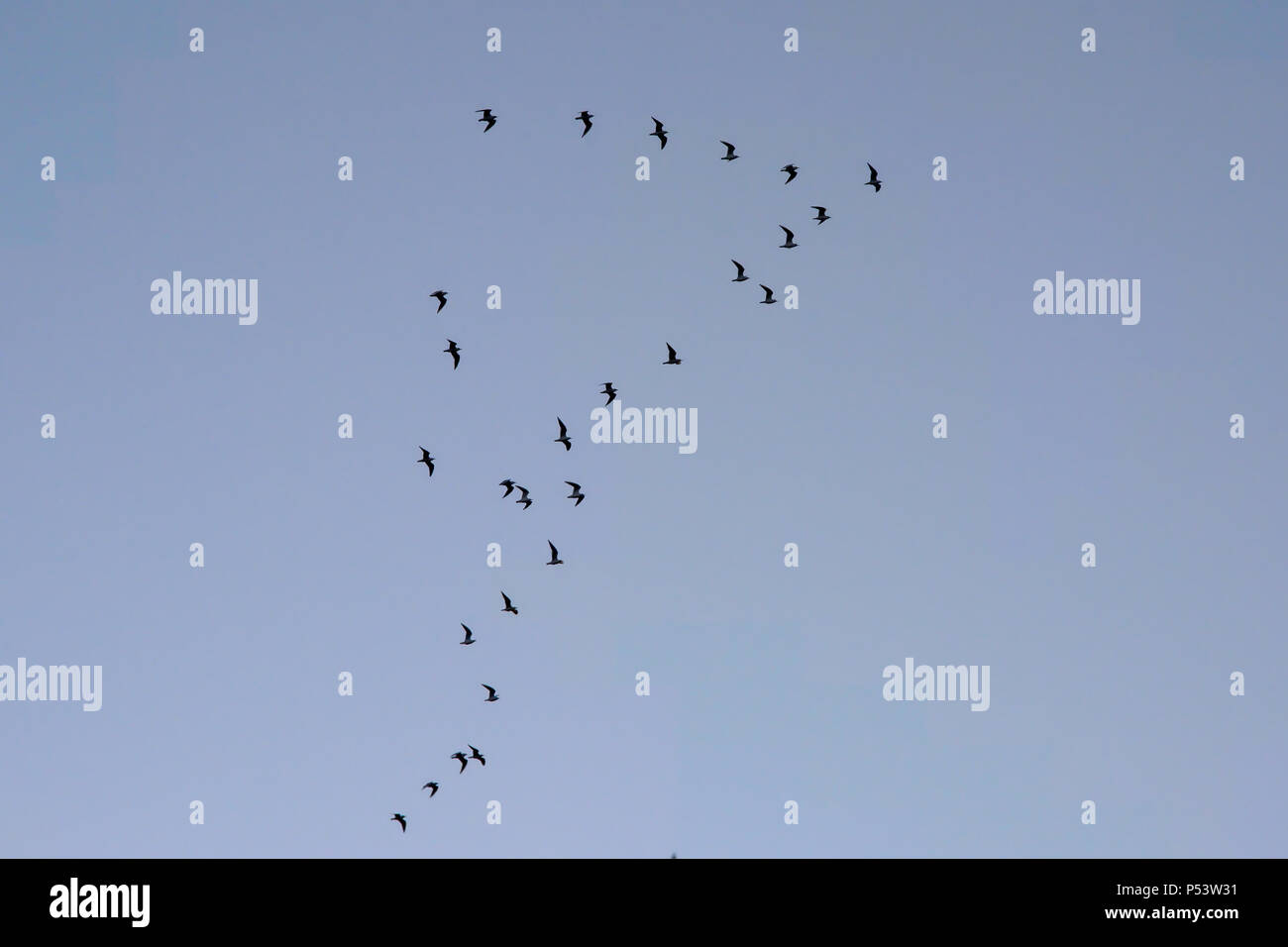 Gulls in flight formation on a clear blue sky, view from below - Laridae - Stock Image