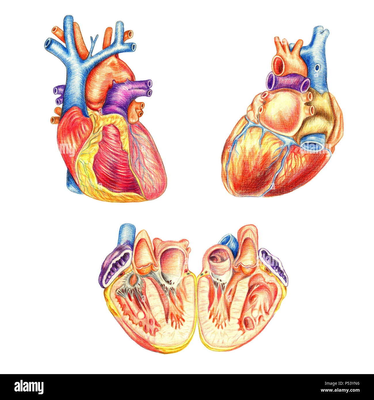 The human heart viewed from the front, behind and lengthwise cut, hand drawn medical illustration, color pencils drawing with imitation of lithography - Stock Image