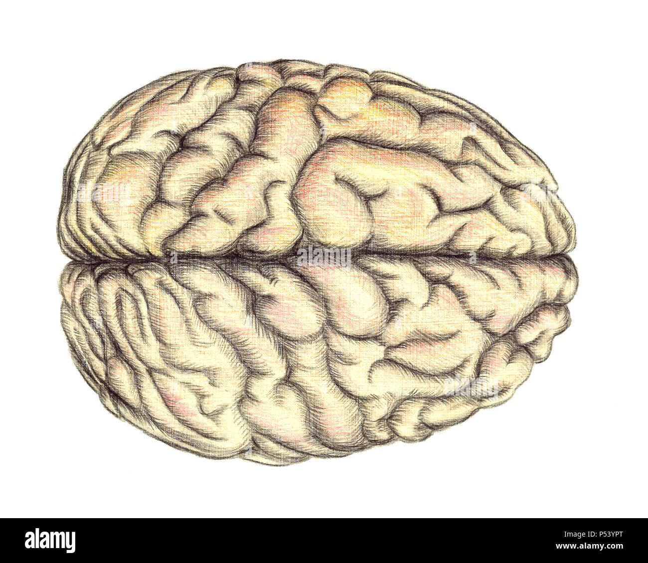 Human brain view from above, hand drawn medical illustration, color pencils drawing with imitation of lithography - Stock Image