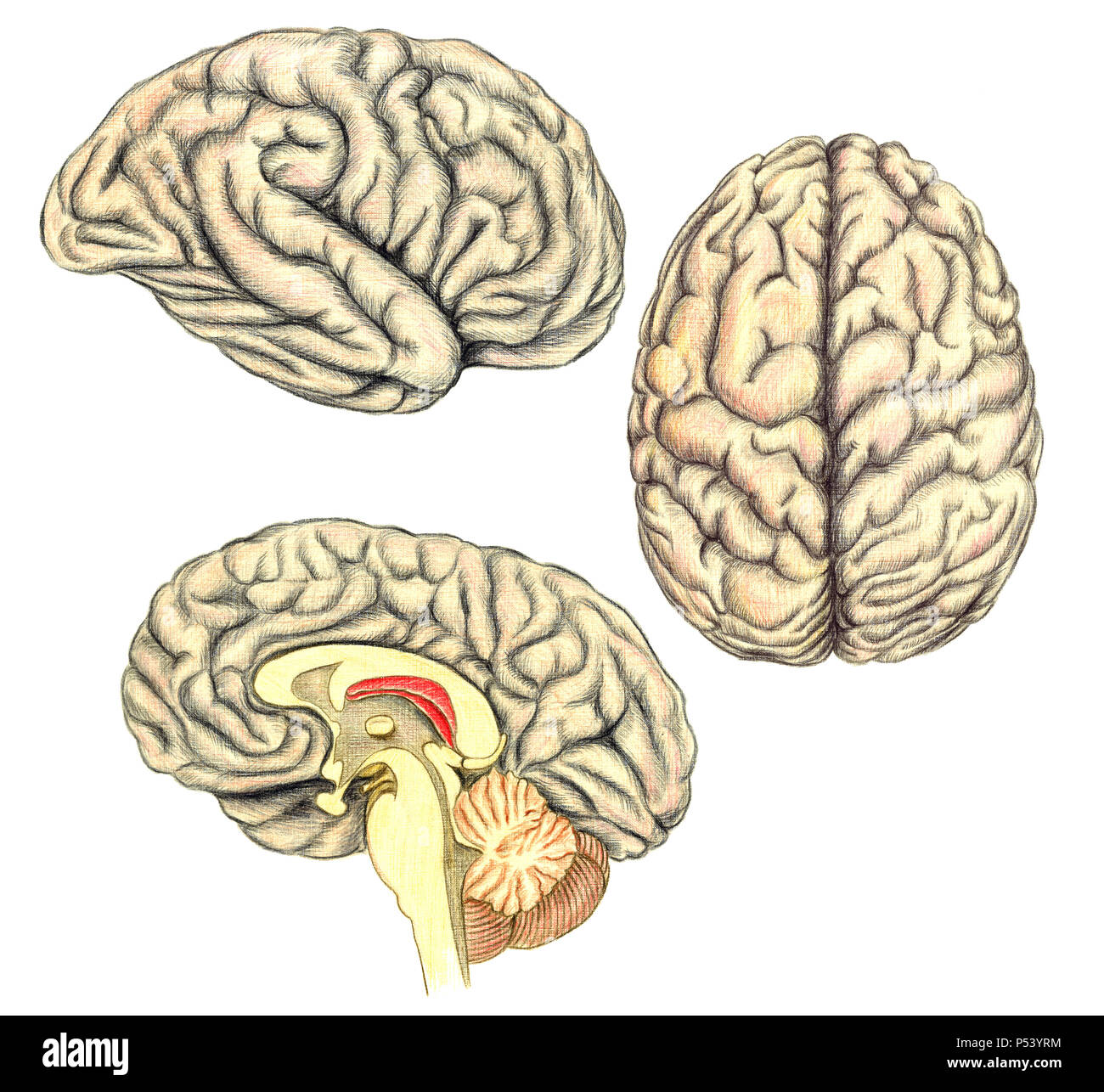 Human brain side diagram stock photos human brain side diagram human brain side view view from above and viewed through a mid line incision ccuart
