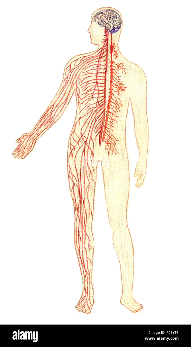 The human nervous system, hand drawn medical illustration, color pencils drawing with imitation of lithography - Stock Image
