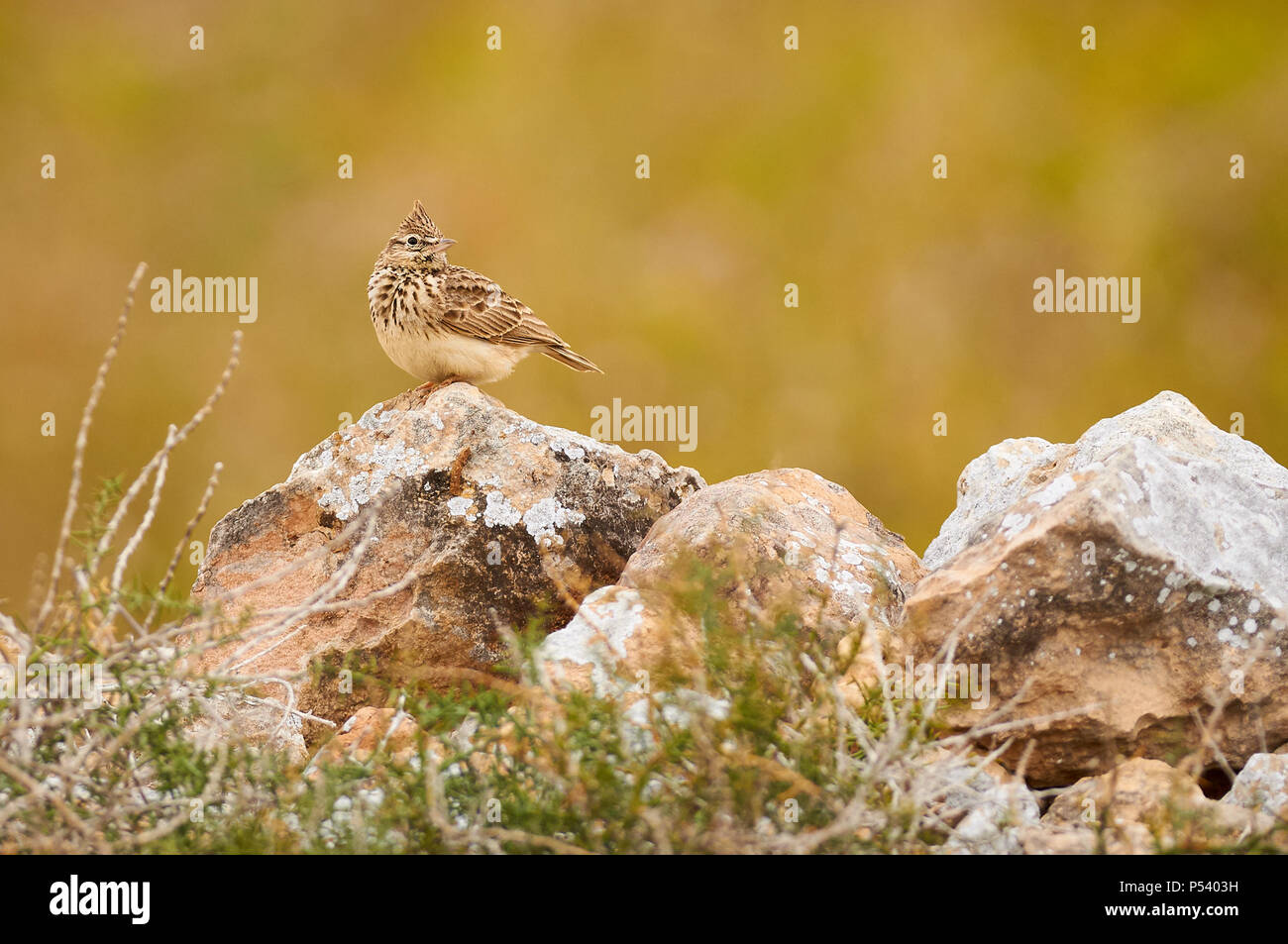 Iberian Thekla's lark (Galerida theklae theklae) over a stone wall in Can Marroig in Ses Salines Natural Park (Formentera, Balearic islands, Spain) - Stock Image