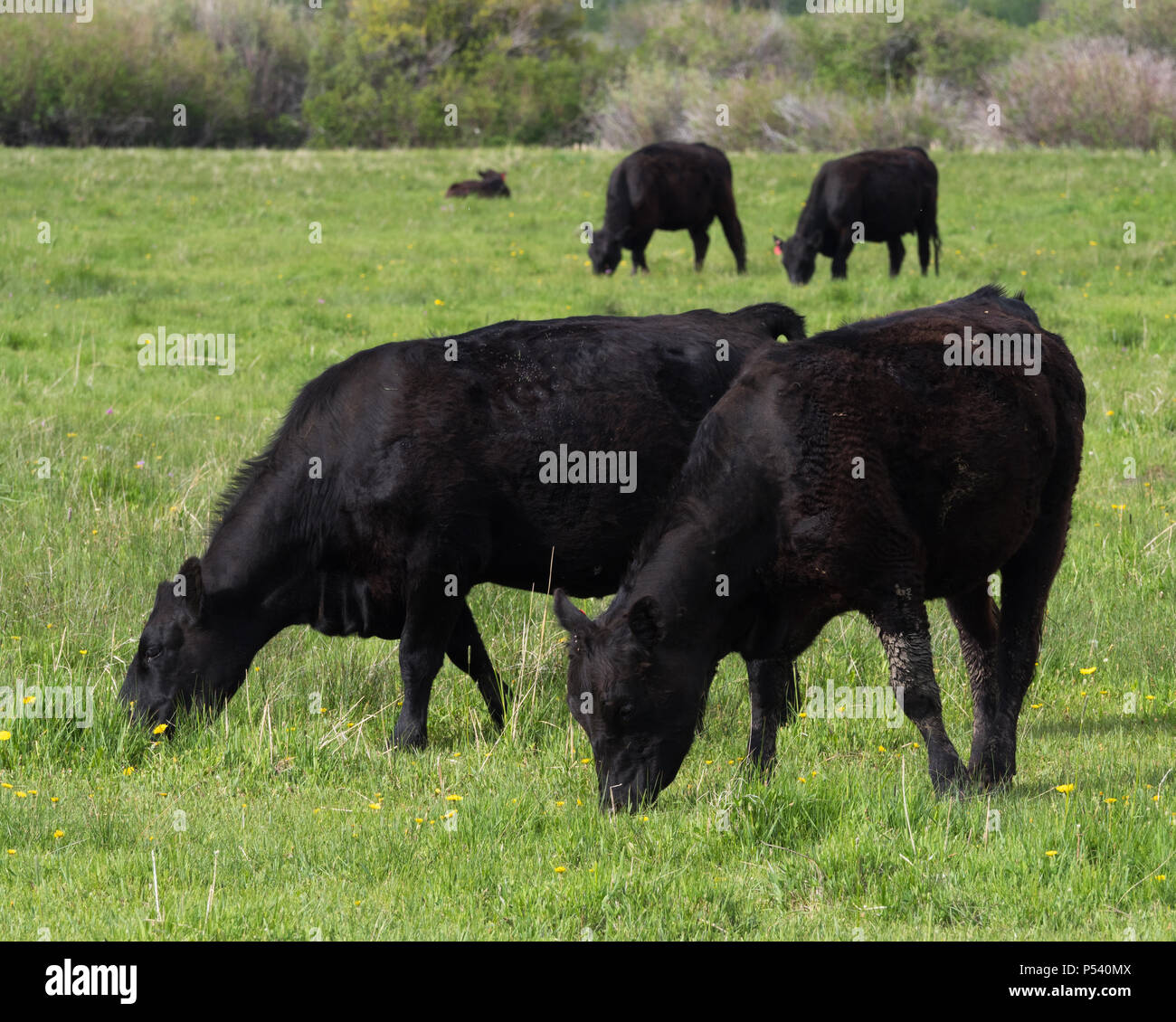 aberdeen angus cow in field stock photos aberdeen angus cow in field stock images alamy. Black Bedroom Furniture Sets. Home Design Ideas