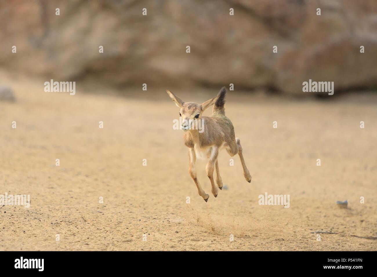 Baby impala jumping for joy Stock Photo