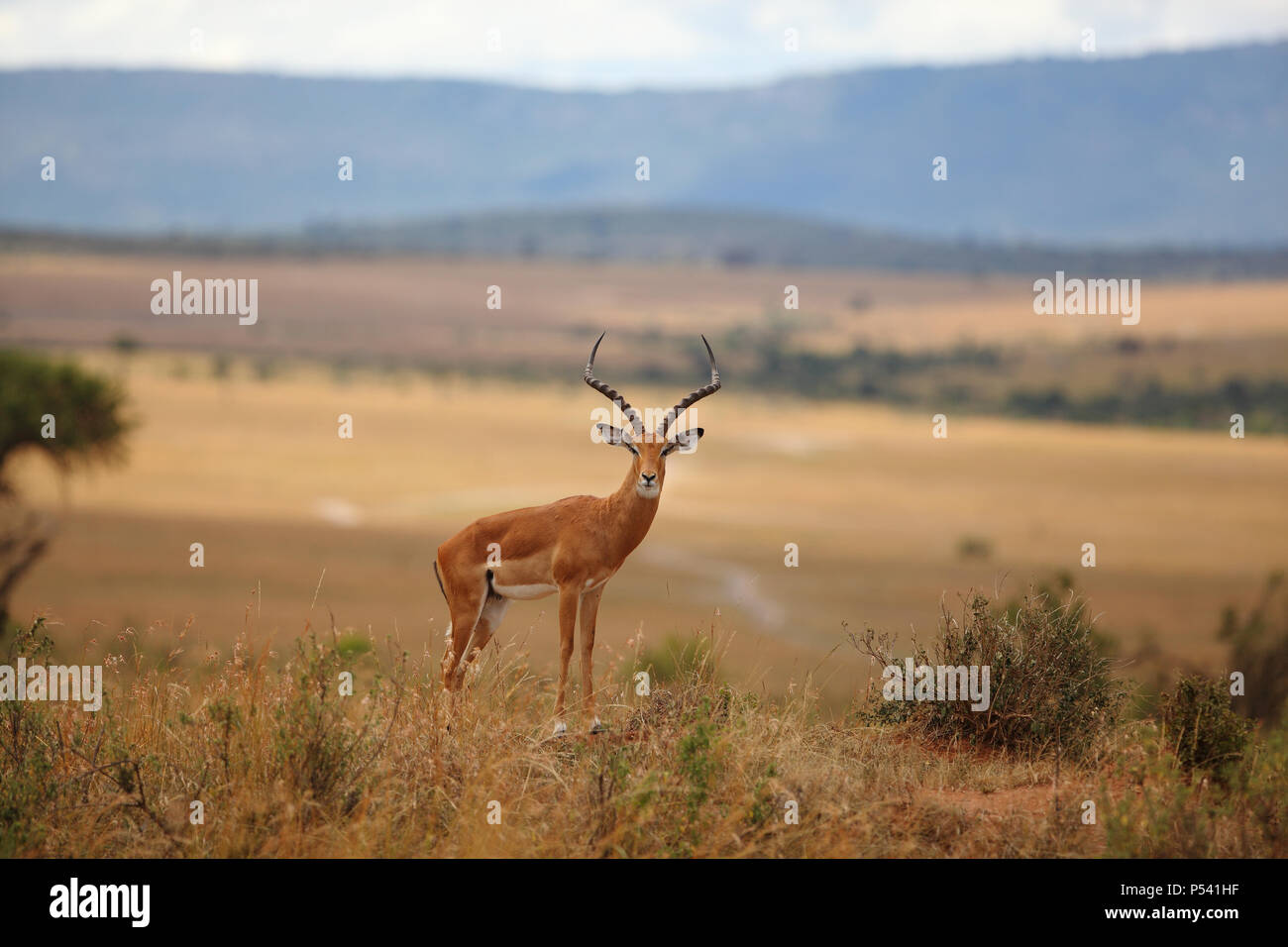 Male impala standing in savannah - Stock Image