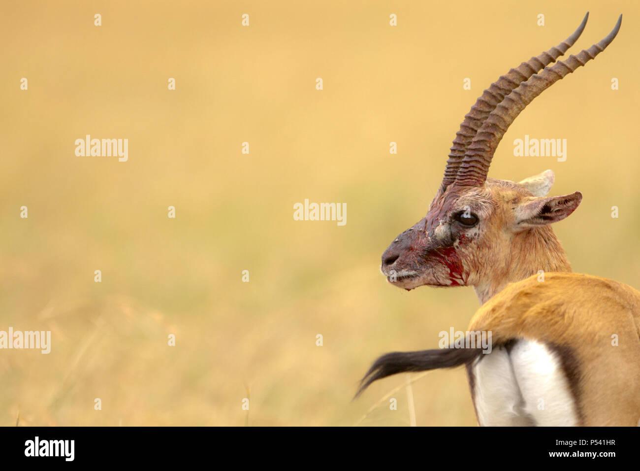Injured Thomsons gazelle in blood - Stock Image
