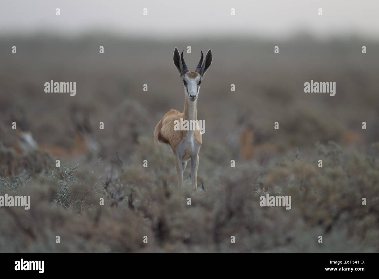 Gazelle in wilderness - Stock Image
