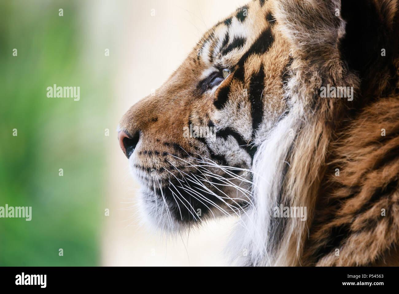 Close up profile portrait of a male Sumatran Tiger - Stock Image