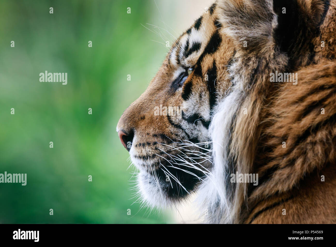 Close up profile portrait of a male Sumatran Tiger, Jae Jae - Stock Image