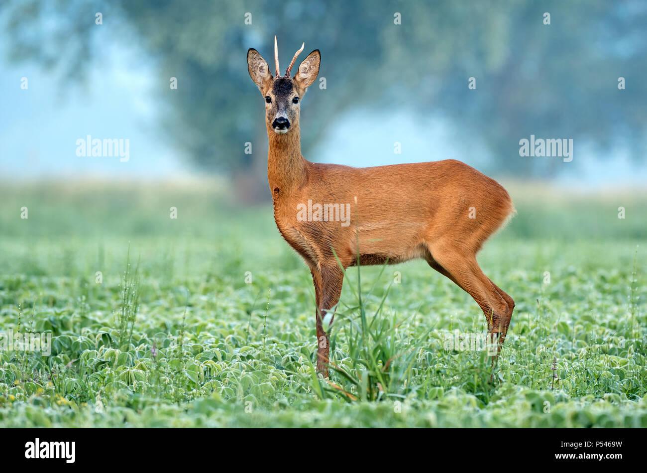 Wild roe buck standing in a soy field - Stock Image