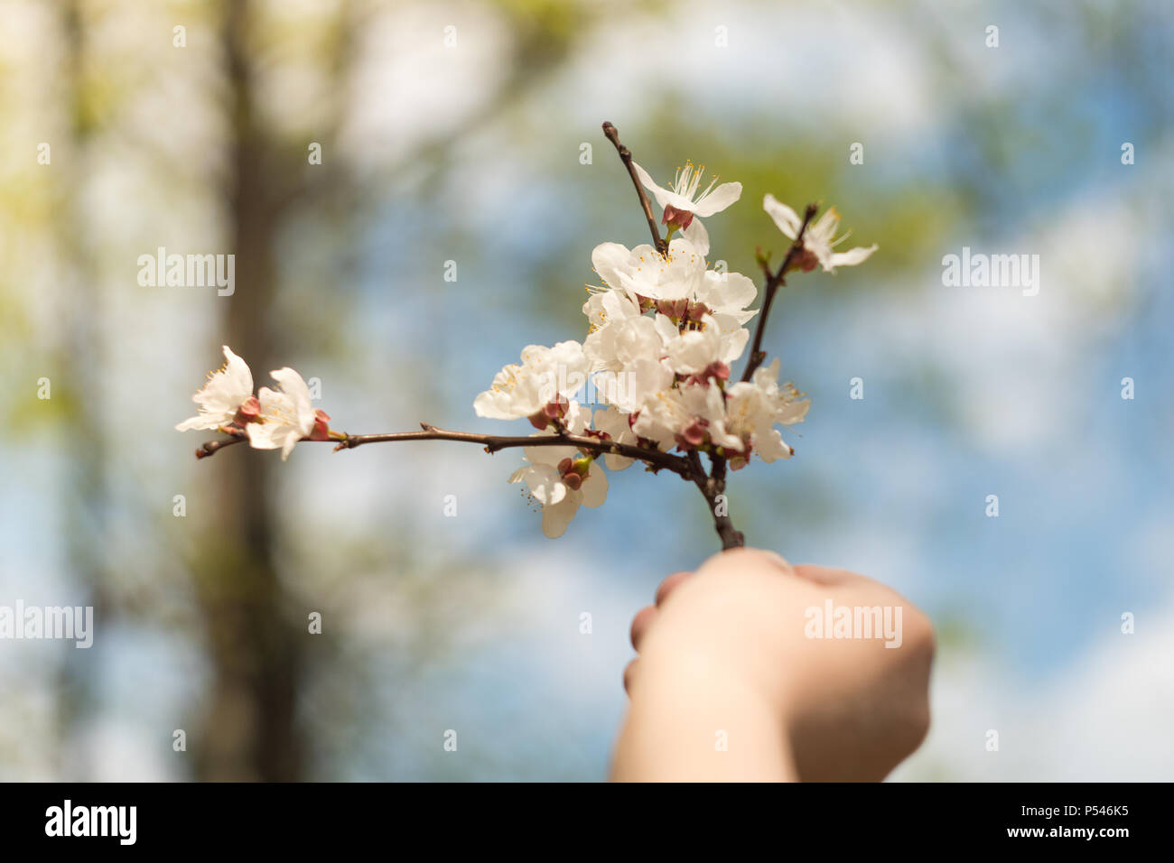 Childs Hand Holds Flowers Childrens Hand Flowers In Hand White