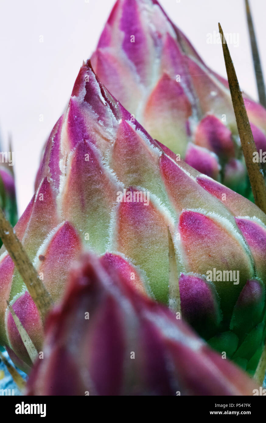 Beautiful Cactus Flowers Macro Photography Delicate Pink Flower