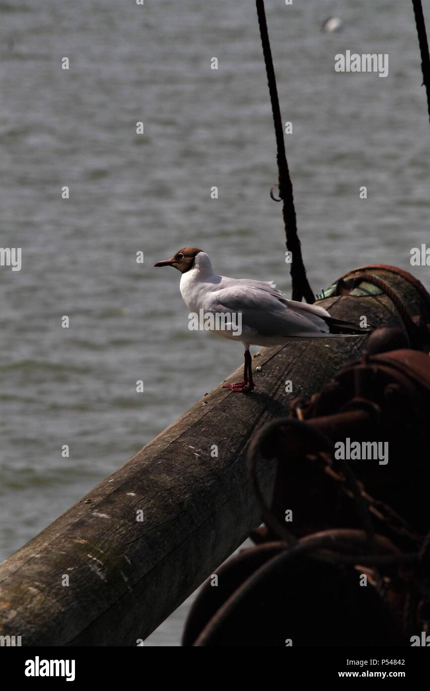 Coastal scene - Single black-headed Gull perches by the harbour. Summer 2018.Essex, UK - Stock Image