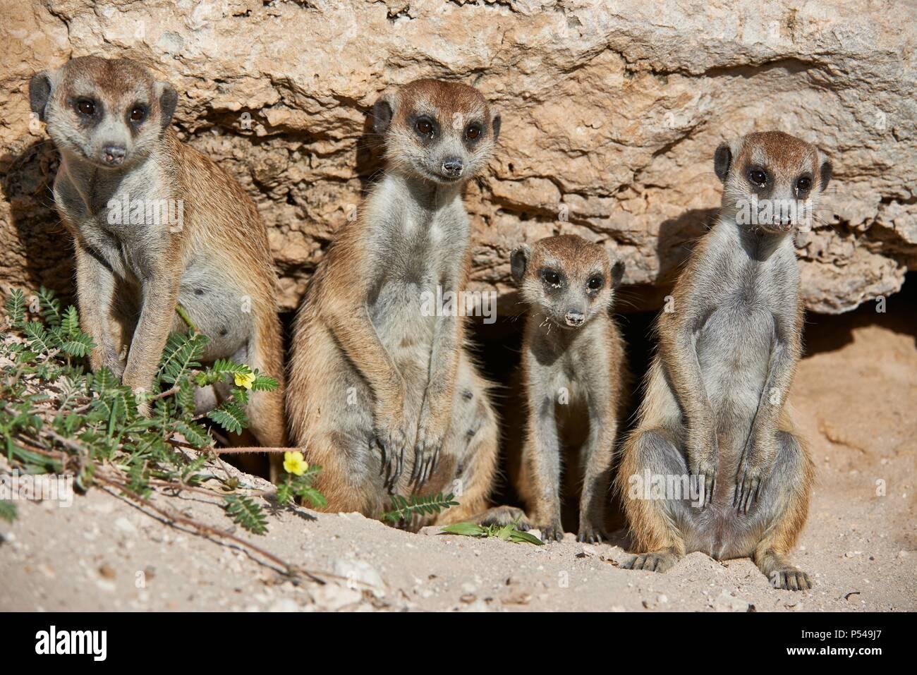 suricats Stock Photo