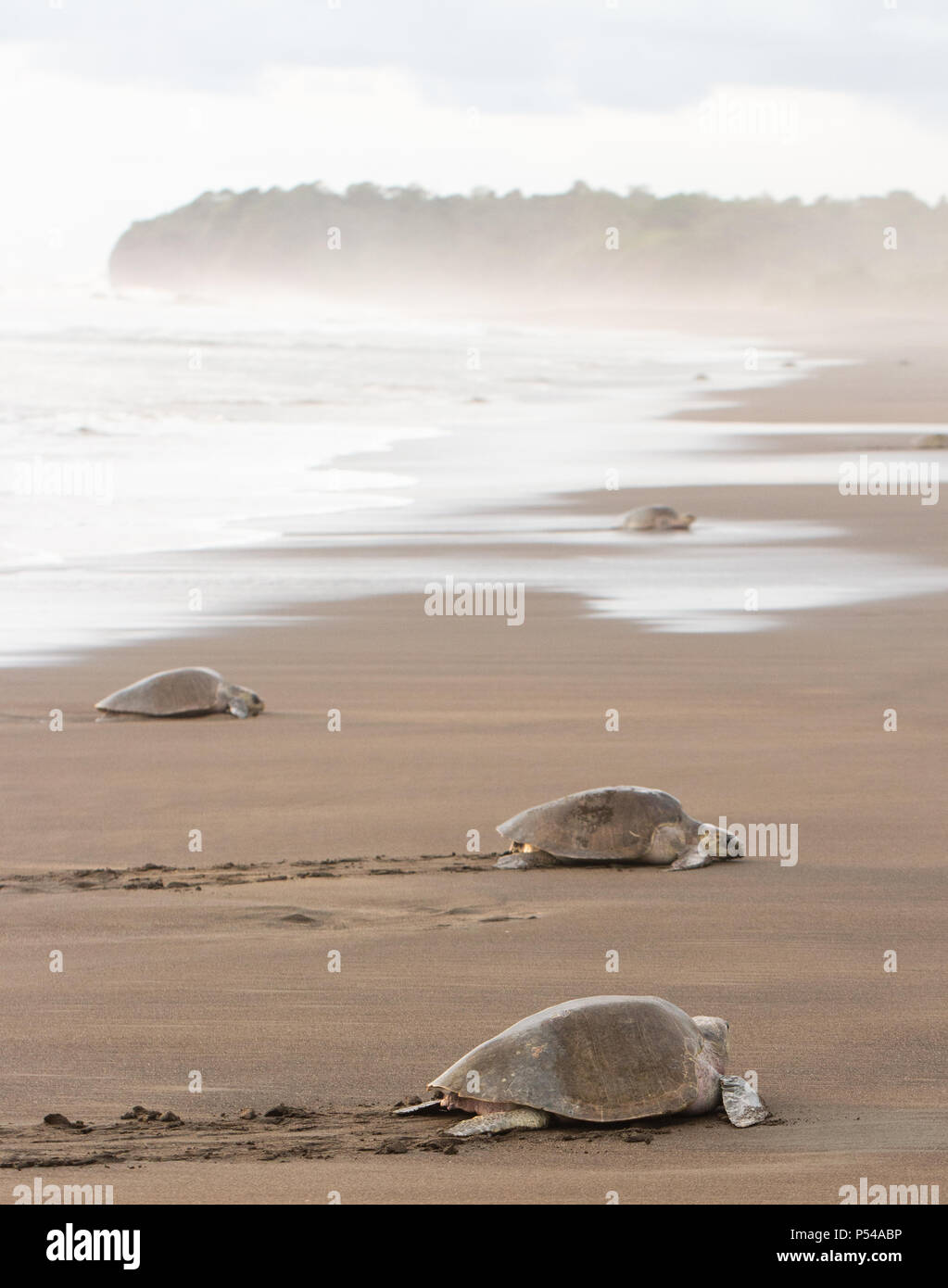 A group of olive ridley sea turtles (Lepidochelys olivacea) leave the ocean to lay eggs in a volcanic sand beach in Costa Rica - Stock Image