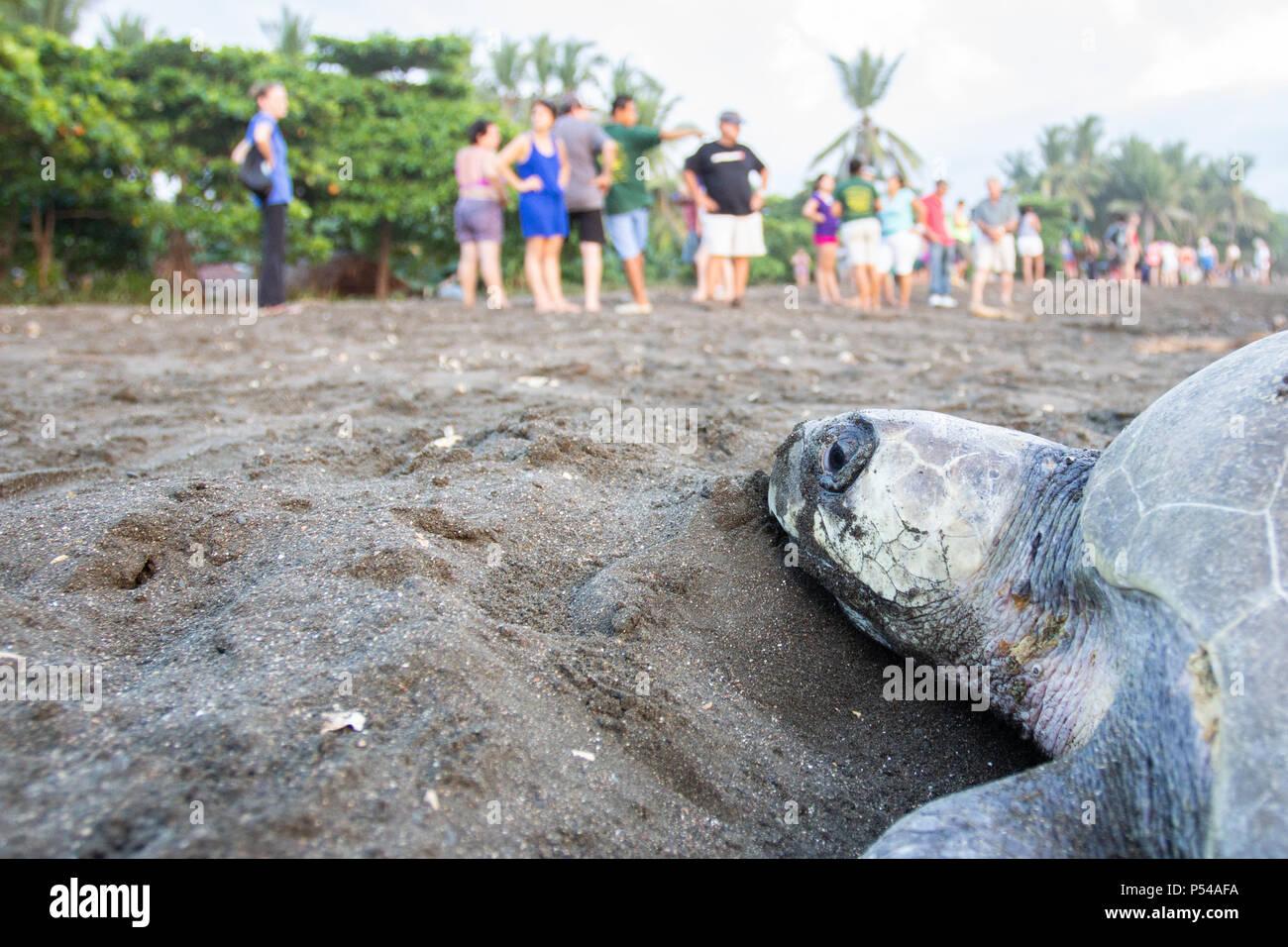 An olive ridley sea turtle (Lepidochelys olivacea) in a beach in Costa Rica where eco tourism takes place - Stock Image
