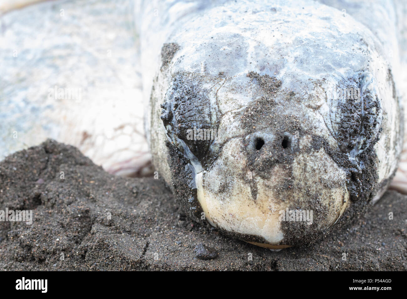 An olive ridley sea turtle (Lepidochelys olivacea) lays eggs in a volcanic sand beach in Costa Rica - Stock Image