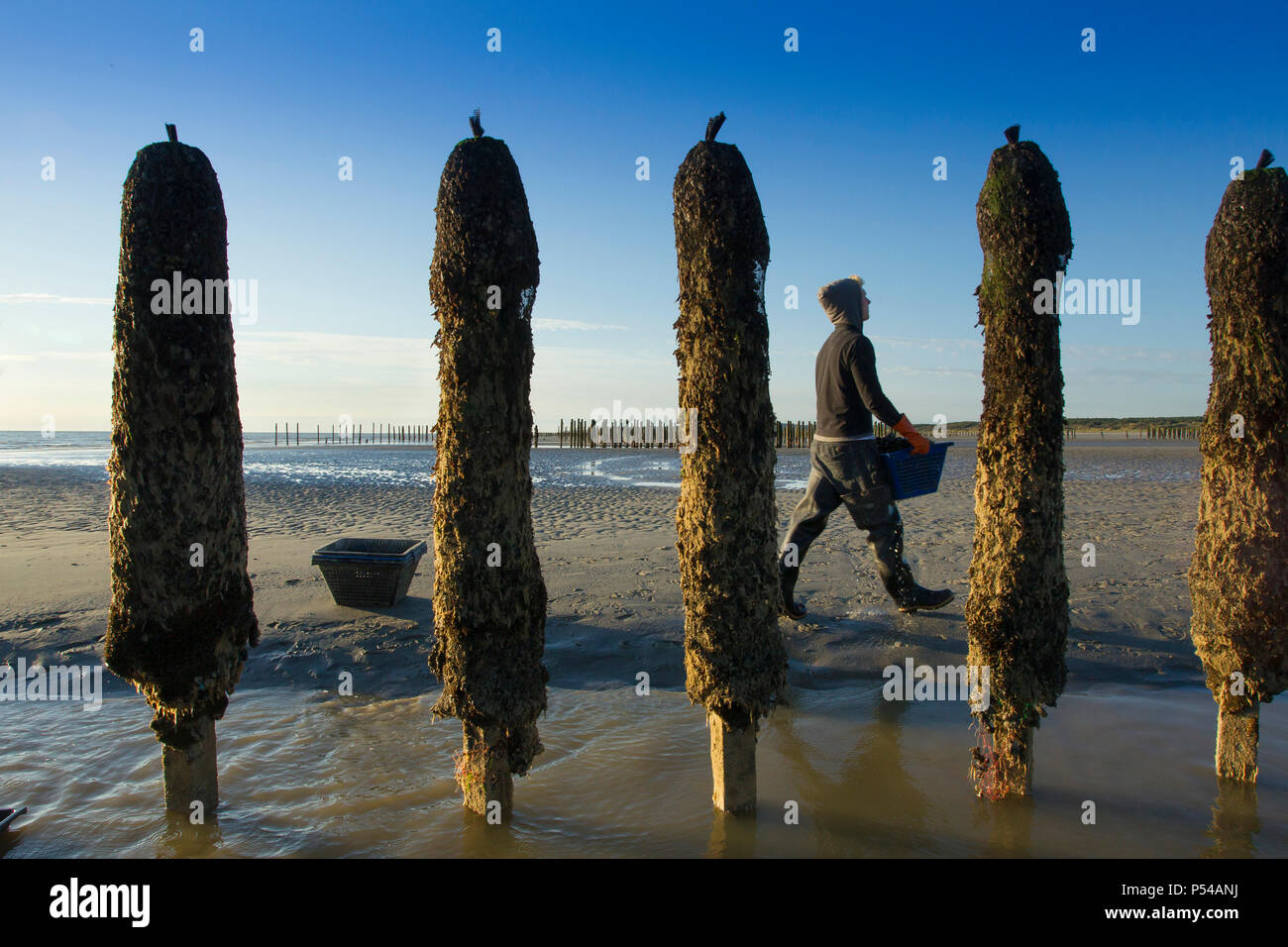 Mussel breeding in the Pas-de-Calais department (northern France). Jean-Etienne Valle, mussel breeder in Dannes. Farmed mussels - Stock Image