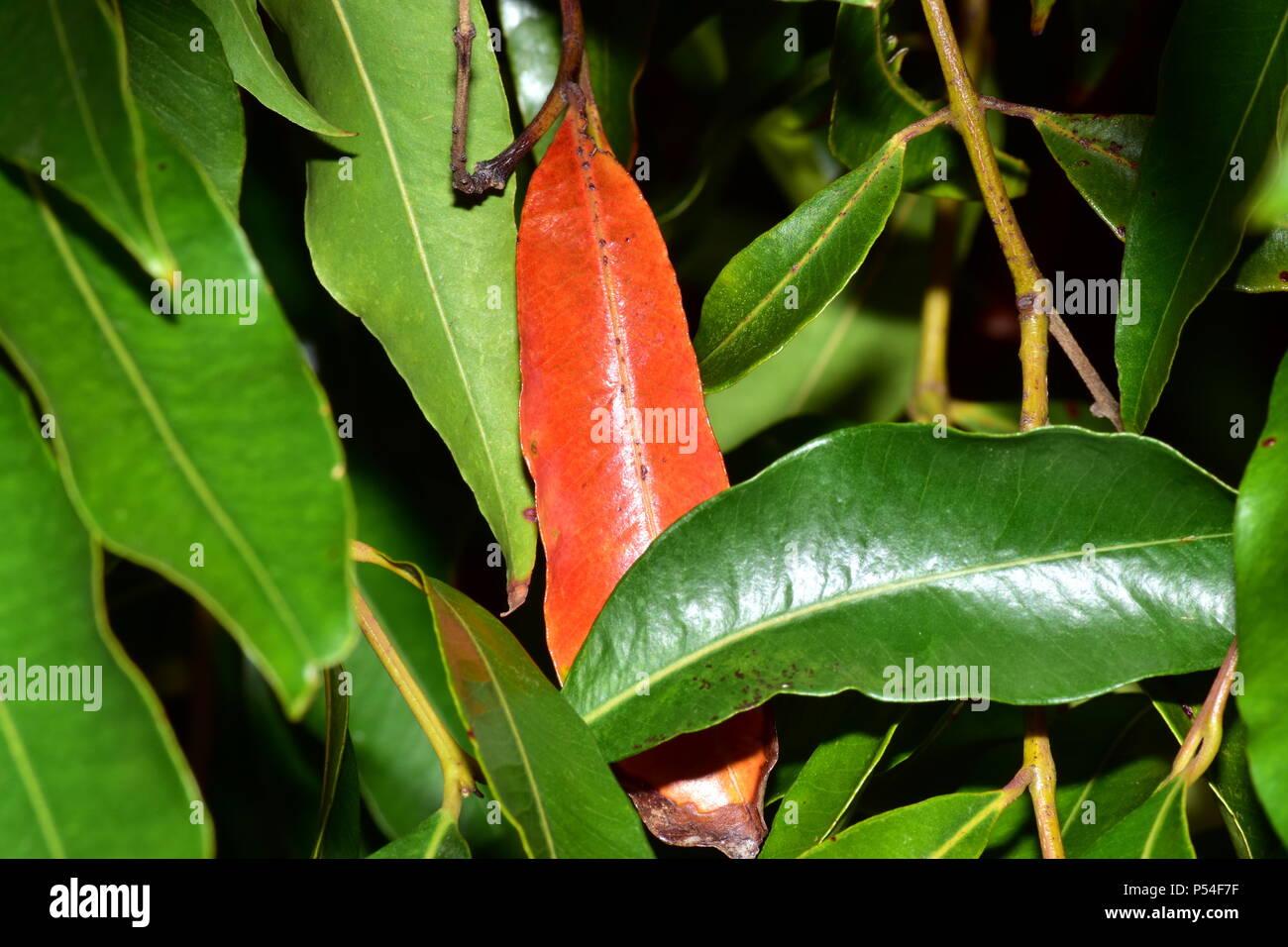 gum leaves - Stock Image