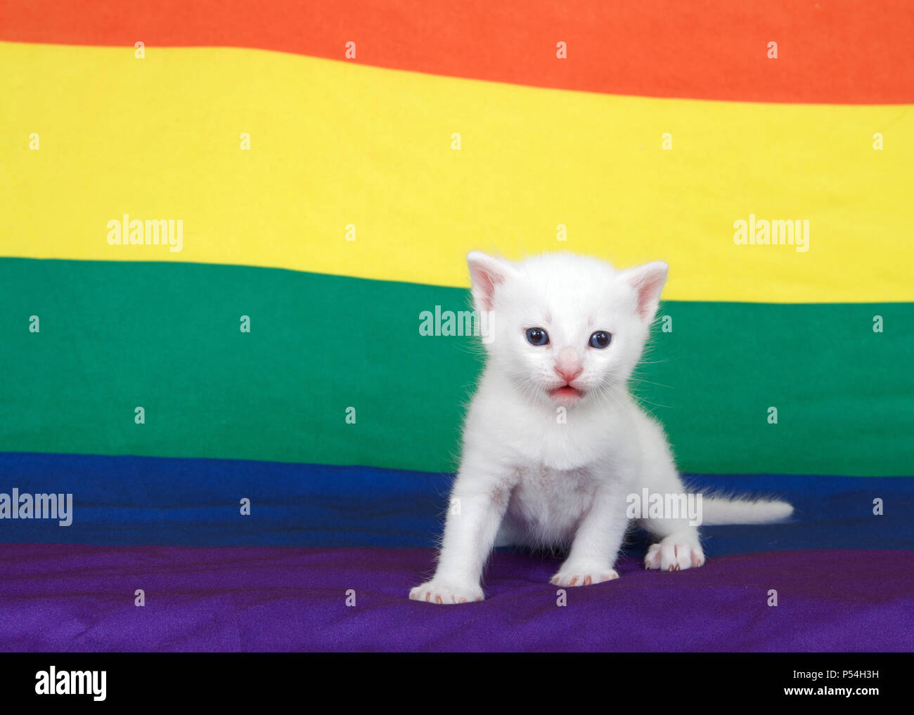 Small grey kitten with blue eyes standing on a Gay Pride flag with flag extending into the backgroun