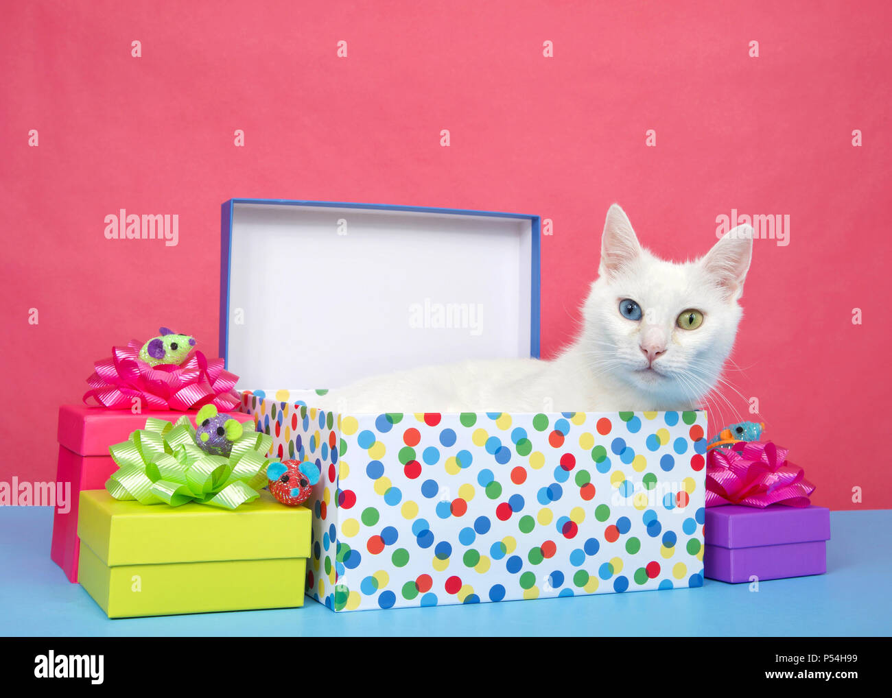 Adorable White Medium Haired Cat With Heterochromia Odd Eyed Laying In A Birthday Present Surrounded By Colorful Presents On Blue Surface Pink Backg