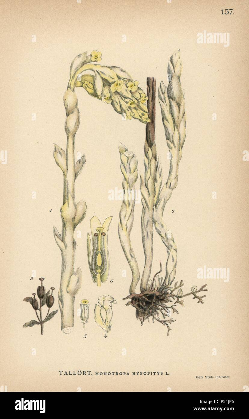 "Dutchman's pipe, Monotropa hypopitys. Chromolithograph from Carl Lindman's ""Bilder ur Nordens Flora"" (Pictures of Northern Flora), Stockholm, Wahlström & Widstrand, 1905. Lindman (1856-1928) was Professor of Botany at the Swedish Museum of Natural History (Naturhistoriska Riksmuseet). The chromolithographs were based on Johan Wilhelm Palmstruch's ""Svensk botanik"" (1802-1843). Stock Photo"