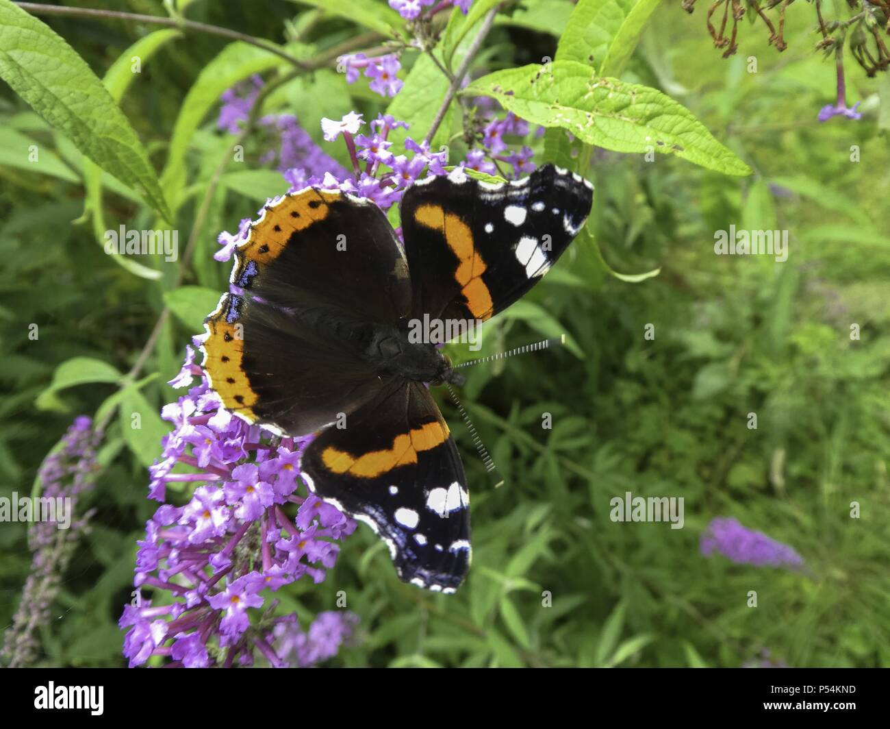 red admiral - Stock Image