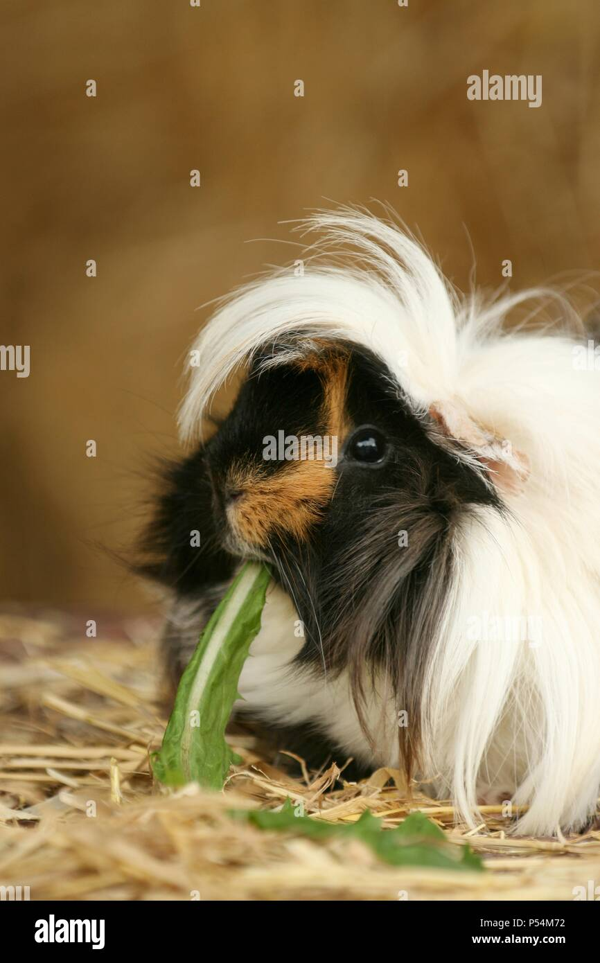 longhaired guinea pig Stock Photo