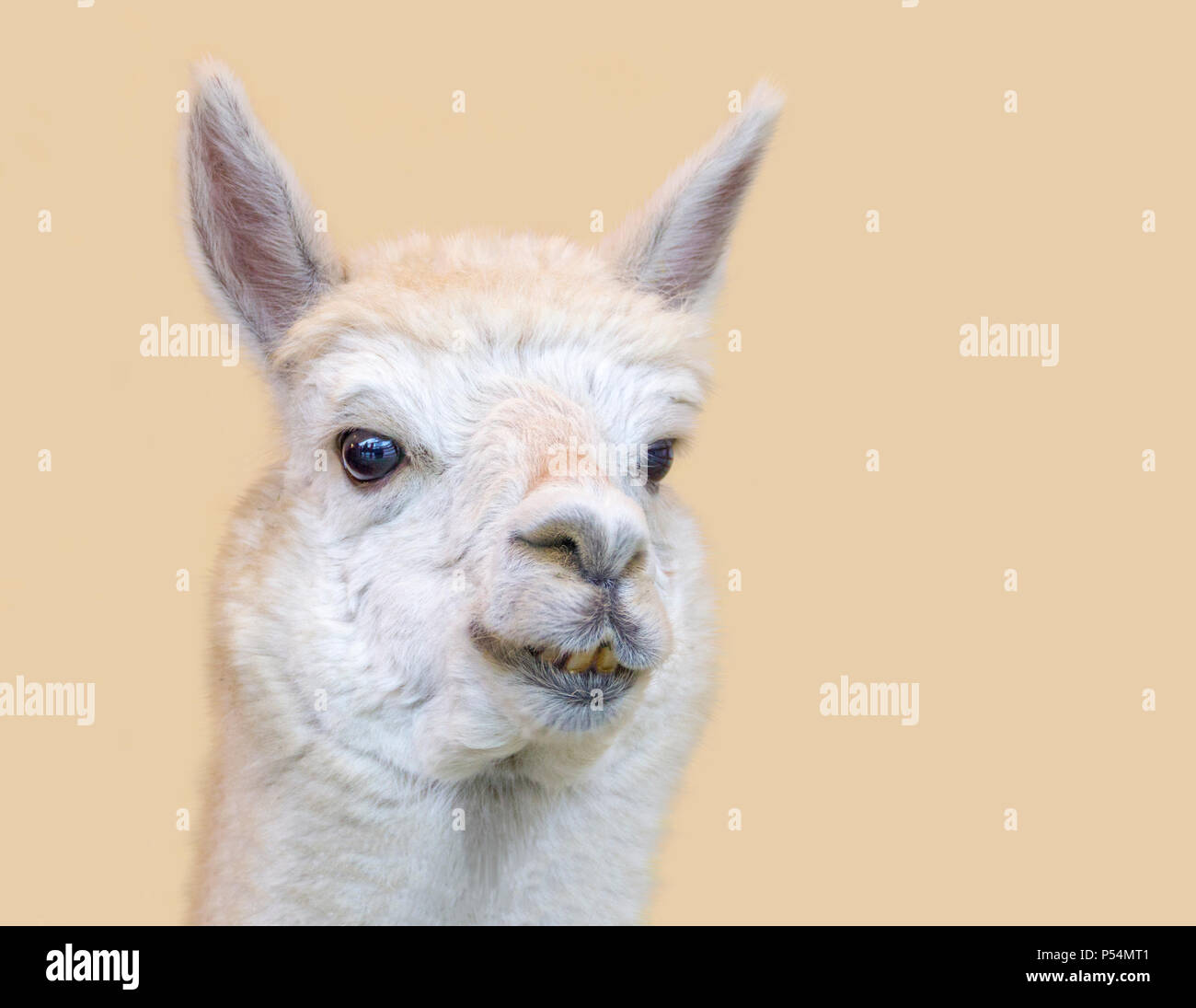 portrait of a Alpaca in light brown back - Stock Image