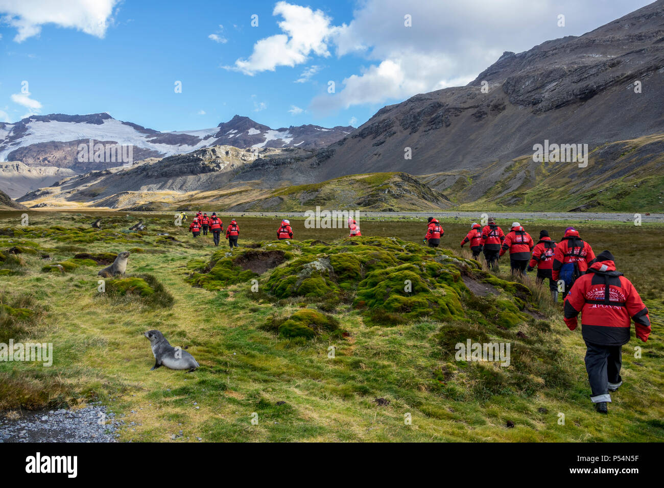 Expedition ship passengers hiking in Shackleton Valley, South Georgia Island - Stock Image