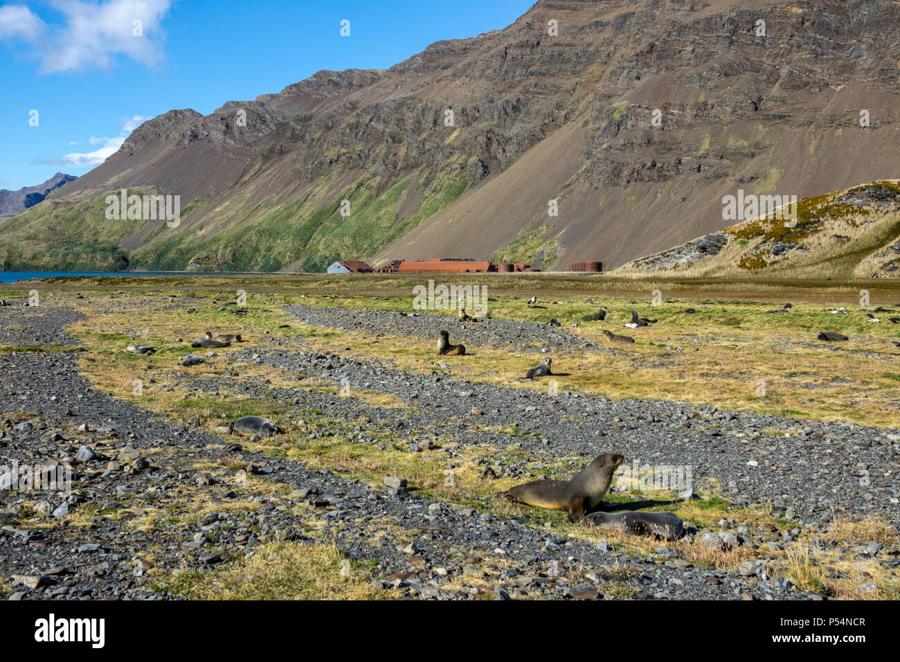 Antarctic fur seals at Stromness Whaling Station, South Georgia Island - Stock Image