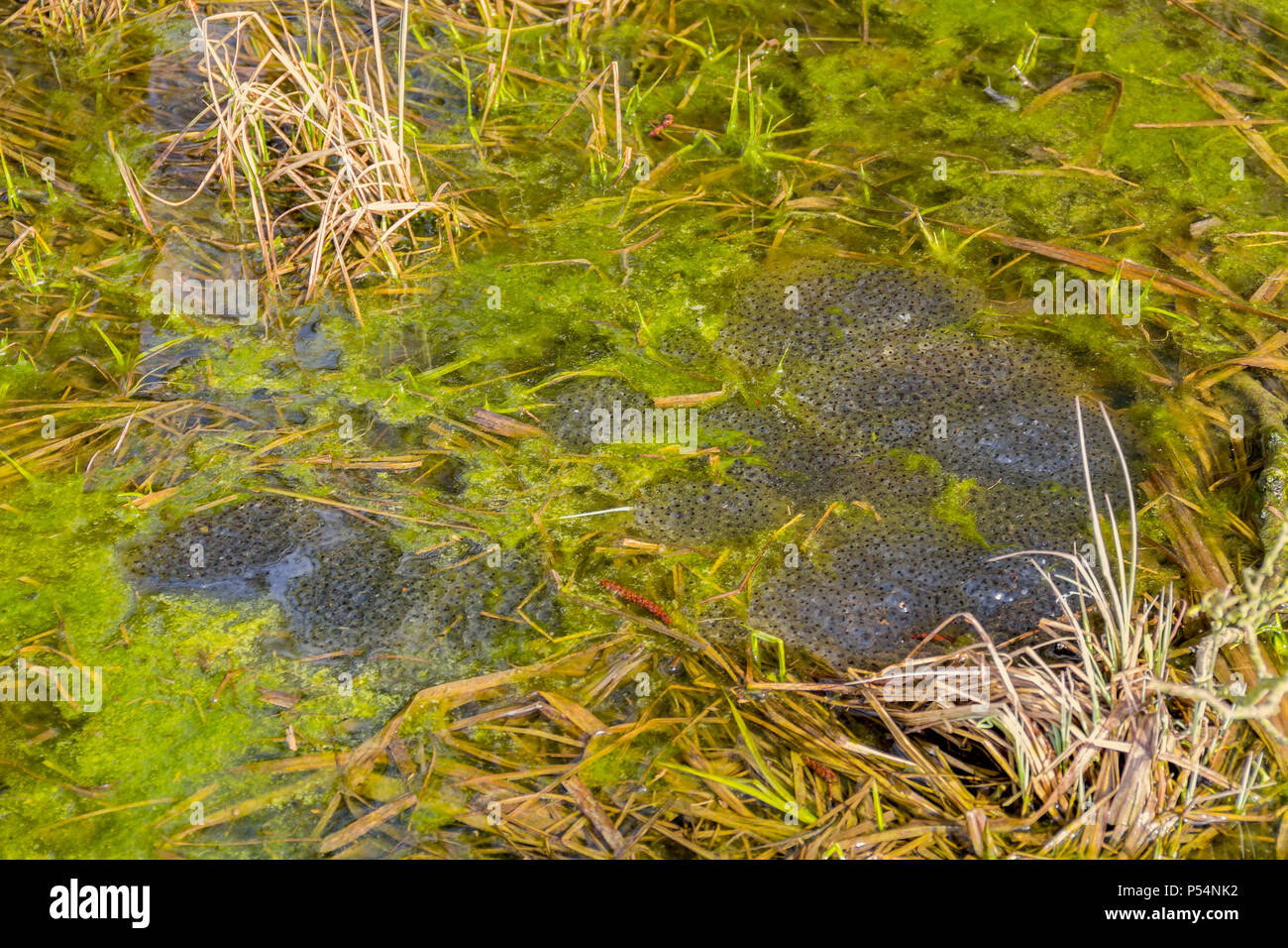 lots of frog spawn clusters at early spring time in natural ambiance - Stock Image
