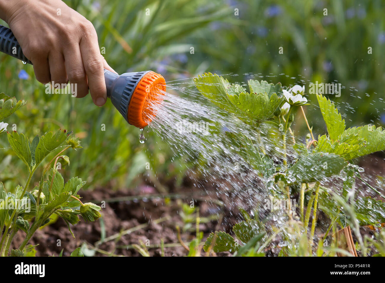 hand watering strawberry in the garden, closeup - Stock Image