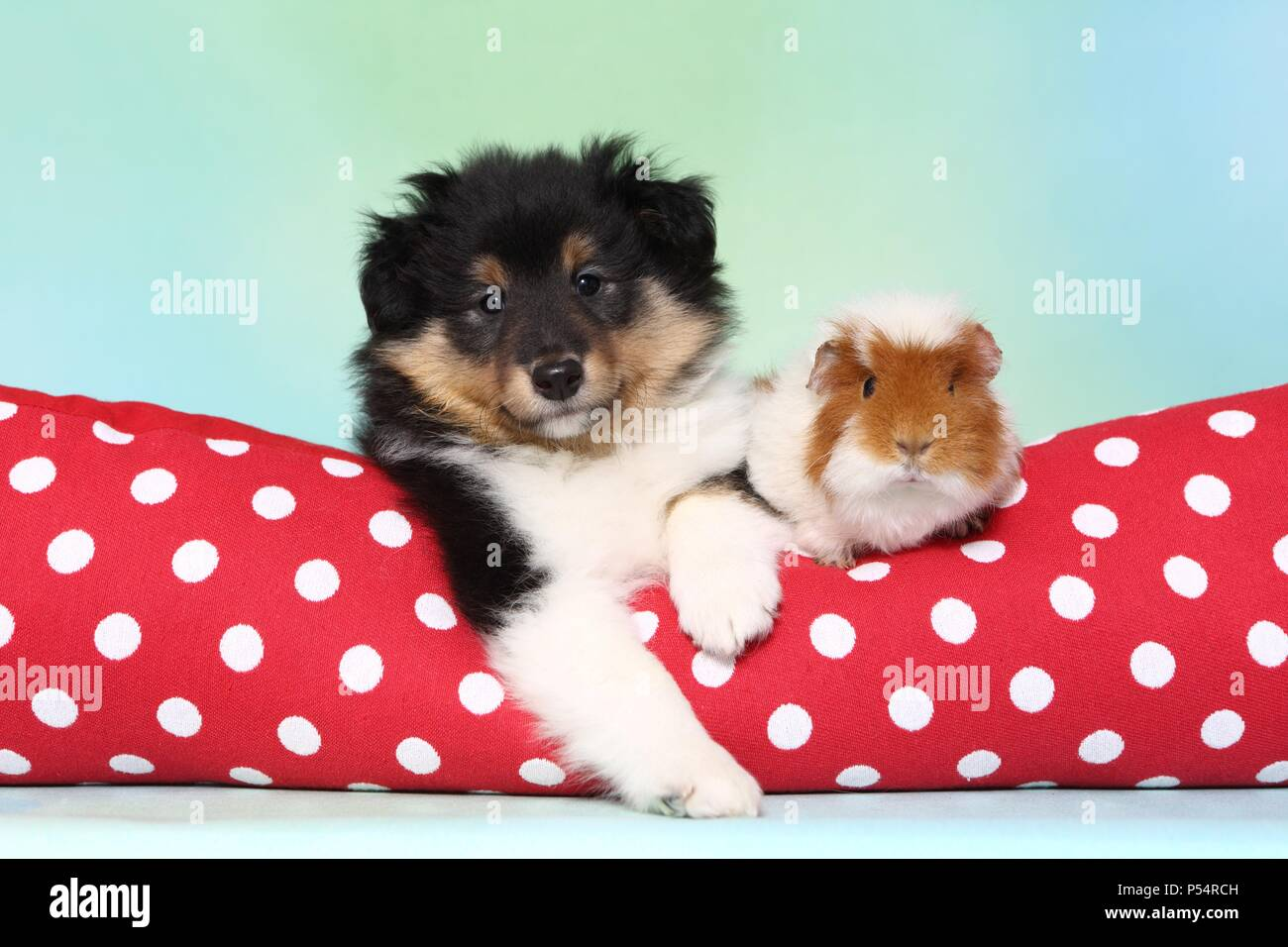 Sheltie puppy and guinea pig - Stock Image