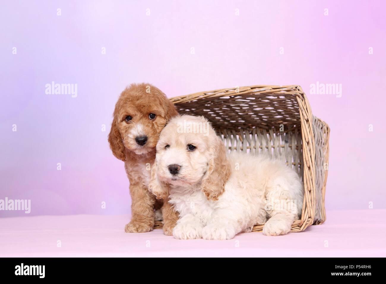 Cockerpoo Puppies - Stock Image
