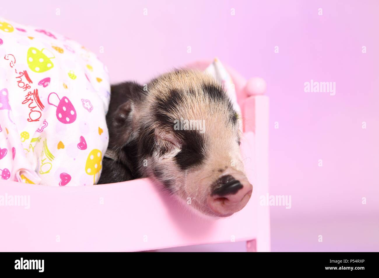 baby pig - Stock Image